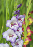 Gladiolus in garden. Close up royalty free stock photos