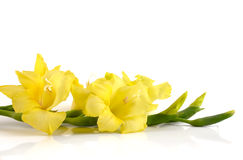 Gladiolus giallo Fotografie Stock Libere da Diritti