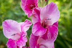 Gladiolus hortulanus ornamental flowers in bloom, bright pink purple color. Garden Royalty Free Stock Images