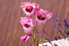 Gladiolus hortulanus ornamental flowers in bloom, bright pink purple color. Garden Royalty Free Stock Photos