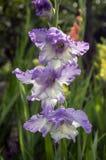 Gladiolus hortulanus ornamental flowers in bloom, violet white color. Flowers on one stem Stock Image