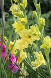 Gladiolus hortulanus ornamental flowers in bloom, yellow green color. Group of flowers Royalty Free Stock Image