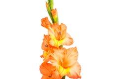 Gladiolus isolated Royalty Free Stock Photo