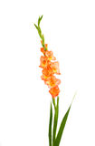 Gladiolus isolated Royalty Free Stock Photos