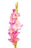 Gladiolus isolated Stock Photos