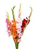 Gladiolus isolated Royalty Free Stock Image