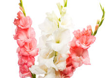 Gladiolus isolated Stock Images