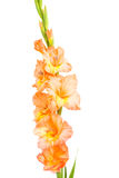 Gladiolus isolated Stock Images