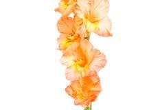 Gladiolus isolated Stock Image