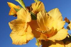 Gladiolus jaune intéressant Images libres de droits