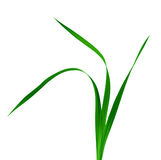 Gladiolus Leaves Royalty Free Stock Photography