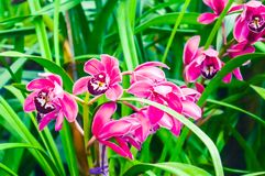 Gladiolus or Marsh gladiolus, also called `sword lily`, is a genus of perennial cormous flowering plants native to France, royalty free stock images