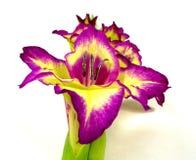Gladiolus stock photography