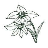 Gladiolus murielae (sketch) Stock Photography