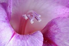 gladiolus odporność Fotografia Stock