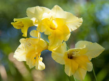 Gladiolus Royalty Free Stock Photos
