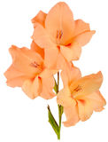 Gladiolus orange 3 Stock Image