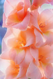 Gladiolus peach color. Beauty flowers of gladiolus peach color close-up stock images