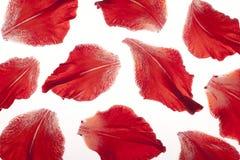 Gladiolus petals Stock Photos