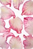 Gladiolus petals Royalty Free Stock Image