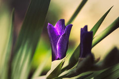 Gladiolus. Purple gladiolus flower in a garden Stock Photography