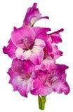 Gladiolus purple 1 Stock Images