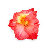 Gladiolus red Royalty Free Stock Photo