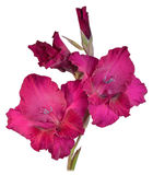 Gladiolus red  2 Royalty Free Stock Photography