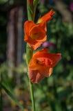 Gladiolus (roślina) Obrazy Royalty Free