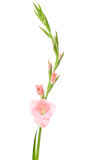 Gladiolus rose photo stock