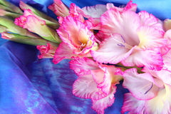 Gladiolus rose photographie stock