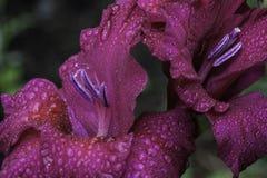 Gladiolus rose Photos libres de droits