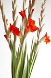 Gladiolus rosso fotografia stock libera da diritti