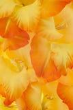Gladiolus stock image