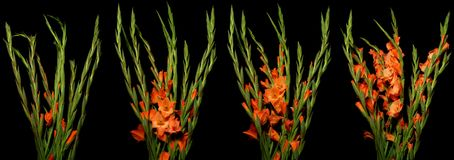 Gladiolus Time-lapse Series. Time lapse series of orange Gladiolus flowers blooming. Studio shot over black Royalty Free Stock Images