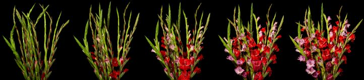 Gladiolus Time-lapse Series. Time lapse series of red and pink Gladiolus flowers blooming. Studio shot over black Stock Images