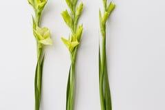 Gladiolus on white background Stock Photos