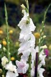 Gladiolus, White Prosperity. Flower closeup stock photo