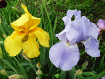 Gladiolus yellow blue flower Royalty Free Stock Photo