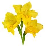Gladiolus yellow 1 Royalty Free Stock Photos