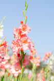 Gladiolusa kwiat Fotografia Royalty Free