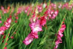 Gladiolusa kwiatu pole Zdjęcie Royalty Free