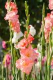 Gladiolusblomma Royaltyfri Foto