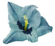 Gladiolusblomman är turkos som isoleras på vit bakgrund Närbild För design arkivbilder