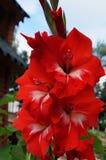 Gladiolusblommor och knoppar med röda kronblad royaltyfri foto