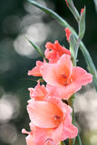 Gladioluses Royalty Free Stock Photo