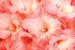 Gladioluses Stock Photos