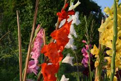 Gladioluses royalty-vrije stock afbeeldingen