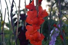 Gladioluses images libres de droits