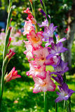 Gladioluses. Three gladioluses growing in a garden Stock Image